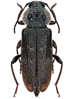 house-longhorn-beetle